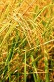 Rice sätter in av thai bonde Royaltyfria Foton