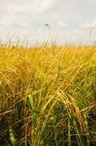Rice sätter in av thai bonde Royaltyfri Foto