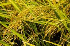 Rice sätter in av thai bonde Royaltyfri Fotografi