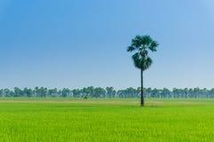 Rice sätter in i Thailand Royaltyfria Bilder