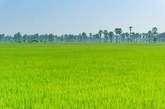 Rice sätter in i Thailand Royaltyfria Foton
