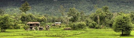 Rice sätter in - Laos royaltyfri bild