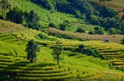 Rice sätter in på det terrasserade berg. Arkivfoton