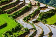 Rice sätter in terrasser. Nära Sapa Vietnam Arkivfoton