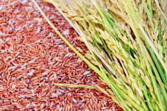 Rice's grains. Rice's grains,Ear of rice background Stock Photography