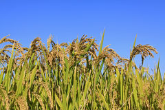 Rice scenery Royalty Free Stock Image