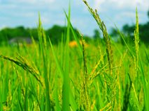 Lao Rice field royalty free stock image