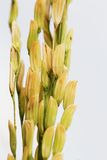 Rice seed Stock Images