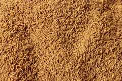 Rice Seed,Paddy Background Stock Image