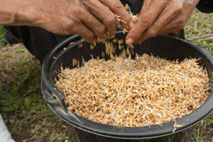 Rice seed. Still life-Preparation of grain to sow seedlings Stock Photo