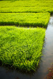 Rice seeding Royalty Free Stock Photos