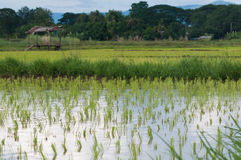 Rice seeding on rice fields Stock Images