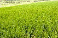 Rice  seedling Royalty Free Stock Photos