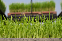 Rice seedling in the box Royalty Free Stock Photography
