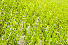 Rice seedling field. In early summer Stock Photo