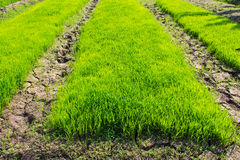 Rice Seedling in field, asia Royalty Free Stock Image