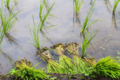 Rice seedling Royalty Free Stock Photography