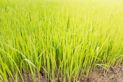 Rice seedling Stock Images