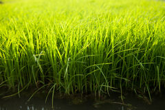 Rice Seedling Stock Photo