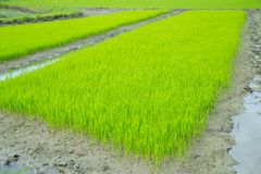 Rice seedling growing in the field Stock Images