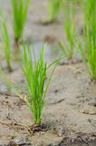 Rice Seedling In A Wet Paddy Field In Thailand. Royalty Free Stock Images