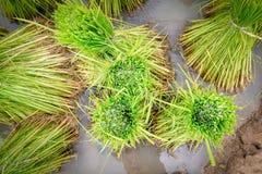 Rice seedling Royalty Free Stock Photos