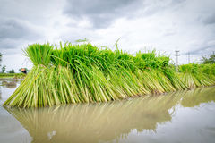 Rice seedling. In paddy farm Royalty Free Stock Images