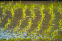 Rice Seedling in the Rice Field Royalty Free Stock Photos