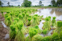 Rice seedling. In paddy farm Stock Photography
