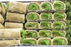 Rice seedling rolled. Royalty Free Stock Images