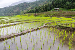 Rice seedling on terrace rice fields Royalty Free Stock Photo