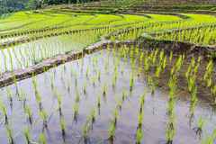 Rice seedling on terrace rice fields Stock Images