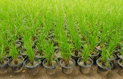 Rice seedling test in plastic tray Royalty Free Stock Images