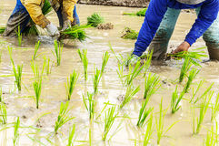 Rice seedling transplanting Stock Photos