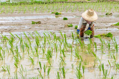 Rice seedling transplanting Stock Images