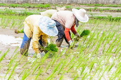 Rice seedling transplanting Royalty Free Stock Image