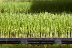 Rice seedling on tray Stock Photos