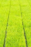 Rice seedling Royalty Free Stock Images