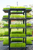 Rice seedling in tray on shelf Stock Images