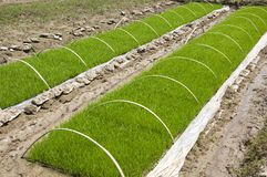 Rice seedlings Stock Photo
