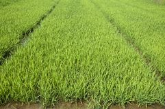 Rice seedlings Stock Images