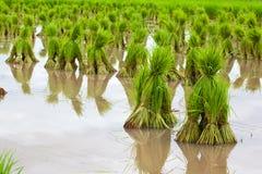Rice seedlings Royalty Free Stock Image