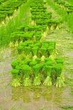 Rice seedlings. Royalty Free Stock Photography