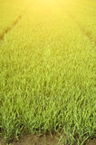 Rice Seedlings Royalty Free Stock Photography