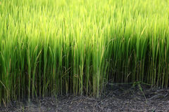 Rice seedlings Royalty Free Stock Photos