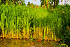 Rice seedlings,The beginning of a rice plant Stock Image