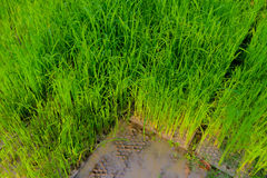 Rice seedlings,The beginning of a rice plant Stock Photos