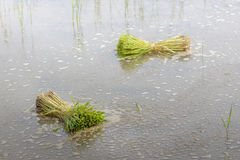 Rice seedlings bound to grow in rice field. Royalty Free Stock Photo