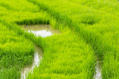 A rice seedlings Stock Photo