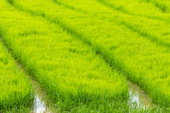 A rice seedlings Stock Images